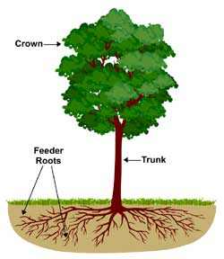 fertilizing tree roots